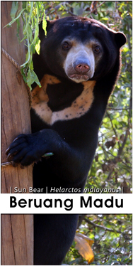 Beruang-Madu